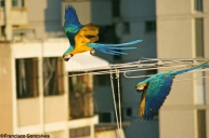 Guacamayas / blue-and-yellow Macaws