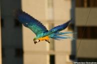 Guacamayas / blue-and-yellow Macaws