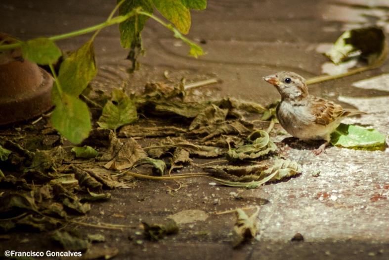 Desde marzo tenemos familias de gorriones que hacen vida en nuestro patio.