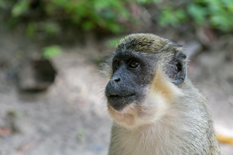 Mono verde en Bijilo Forest Park