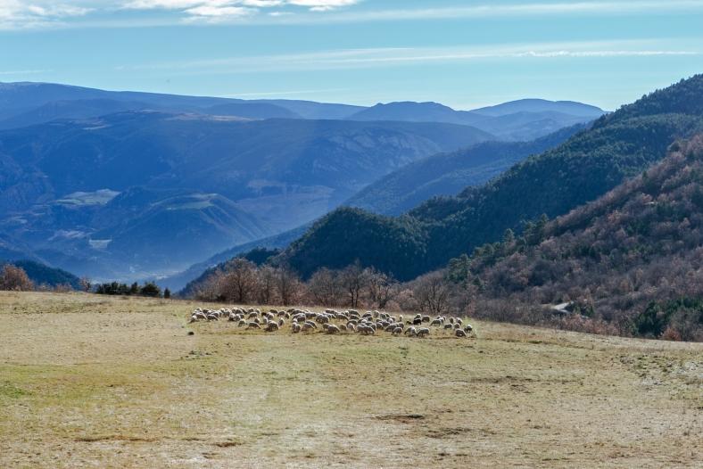 Hay más ovejas que habitantes en Argestues