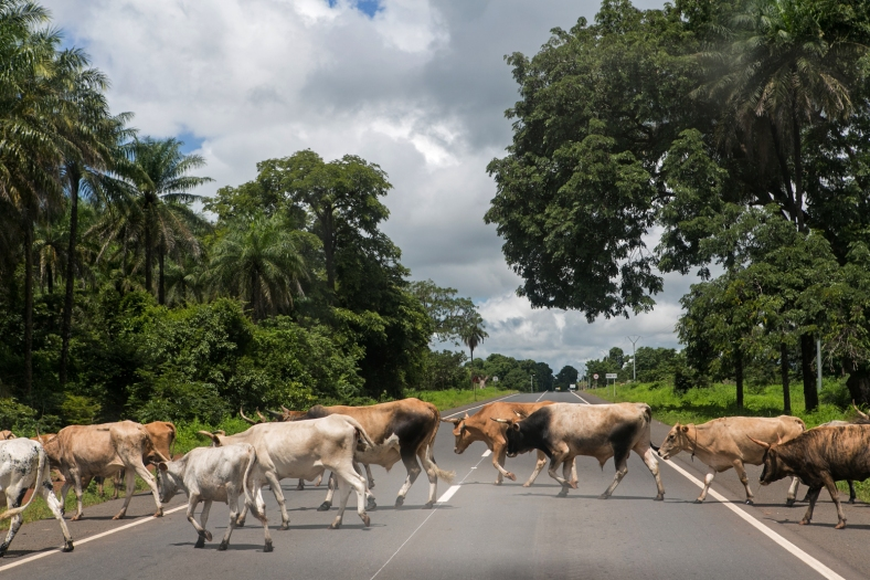 Es normal encontrarse vacas en medio de la vía
